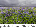 Field of Lupine Iceland wit dark Sky 28760747