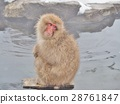 Portrait of a Japanese macaque (snow monkey) 28761847