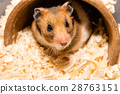 Cute tiny hamster 28763151