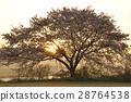 만개 한 벚꽃에 아침 놀 28764538