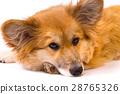 corgi fluffy portrait 28765326