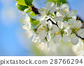 Flowers bloom on a branch of plum against blue sky 28766294