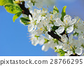 Flowers bloom on a branch of plum against blue sky 28766295