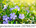 Periwinkle Vinca blue spring flowers in the forest 28766297