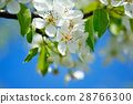 Flowers bloom on a branch of pear against blue sky 28766300