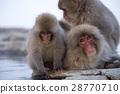 지고 쿠 다니 야생 원숭이 공 원의 스노우 몽키 28770710