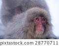 猴子 猴 日本獼猴 28770711