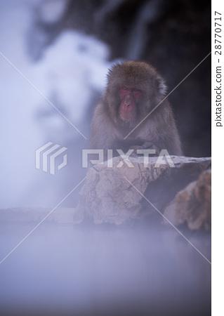 지고 쿠 다니 야생 원숭이 공 원의 스노우 몽키 28770717