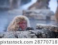 지고 쿠 다니 야생 원숭이 공 원의 스노우 몽키 28770718