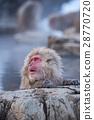 지고 쿠 다니 야생 원숭이 공 원의 스노우 몽키 28770720