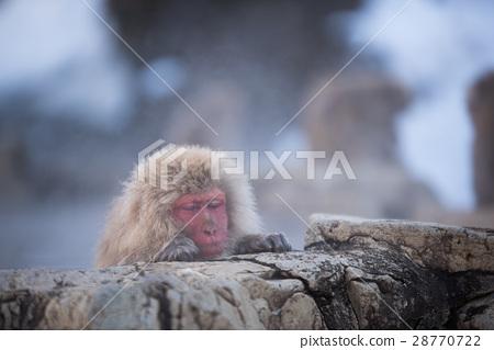 지고 쿠 다니 야생 원숭이 공 원의 스노우 몽키 28770722