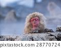 在Jigokudani猴子公园的雪猴子 28770724