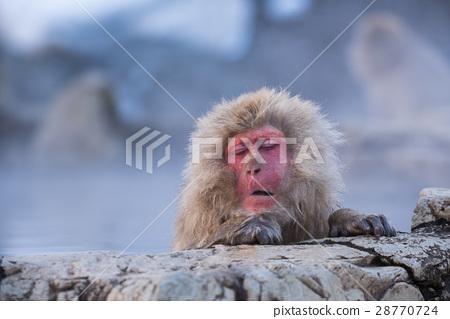 지고 쿠 다니 야생 원숭이 공 원의 스노우 몽키 28770724