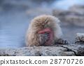 지고쿠다니 야생원숭이 공원, 지고쿠다니 원숭이공원, 스노우몽키 28770726