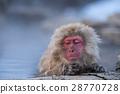 지고 쿠 다니 야생 원숭이 공 원의 스노우 몽키 28770728