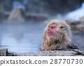 在Jigokudani猴子公園的雪猴子 28770730