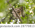 Spotted owlet 28770813