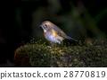 Golden Bush-Robin 28770819
