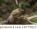 Rusty-cheeked Scimitar Babbler 28770822