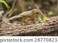 Rusty-cheeked Scimitar Babbler 28770823