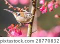 Minla cyanouroptera 28770832