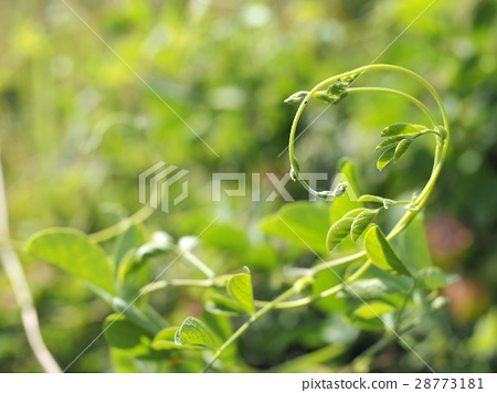 蝶豆 藤 植物 28773181