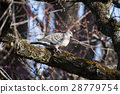 Pheasant butterfly and plum tree 28779754