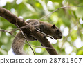 Squirrel on a branch 28781807