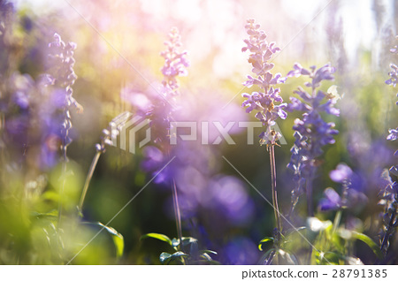 The little purple flowers in the morning 28791385