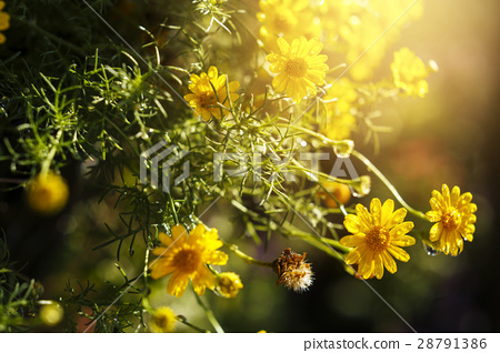 The little yellow flowers in the morning 28791386