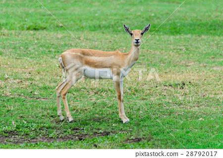 Thomson's gazelle. 28792017