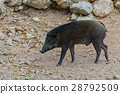 Young wild boar in forest. 28792509