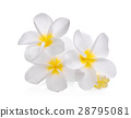 white frangipani (plumeria) flower isolated 28795081
