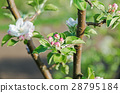branch, flowers, blossoms 28795184