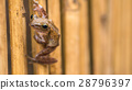 Close up of Beautiful Frog on Dry Bamboo Stick 28796397