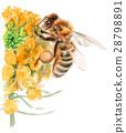 蜜蜂 油菜花 油菜 28798891