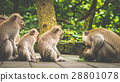 forest, monkey, macaque 28801078