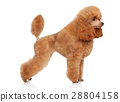 Toy poodle in stand 28804158