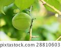 日本杏樹 梅花樹 梅花 28810603