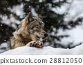 狼 下雪 雪 28812050