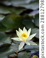 water, lily, water-lily 28812798