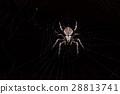 spider and cobweb on black background 28813741