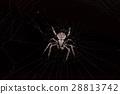 spider and cobweb on black background 28813742