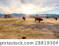 Cow on a field at sunset 28819304