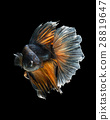 Betta fish 28819647