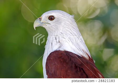Brahminy Kite Birds of Thailand Close up 28821183