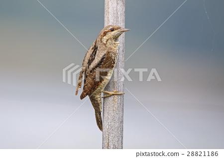Eurasian wryneck Jynx torquilla Birds of Thailand 28821186