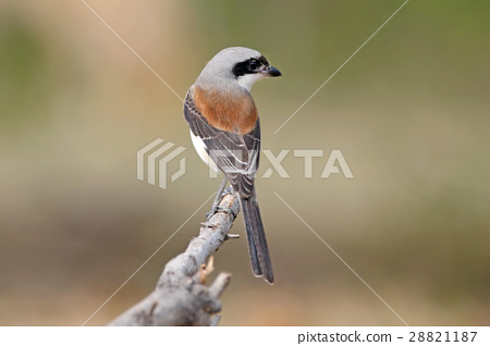 Burmese Shrike Birds of Thailand 28821187