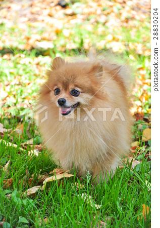 Pomeranian warm Sunny autumn day in the Park 28830204