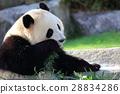 熊猫 竹叶草 动物 28834286